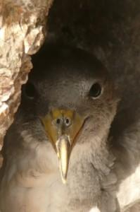 Cagarra jovem - 40 tyś. tych ptaków na Wyspach Selvagens.fot. Alicja Szczepaniak
