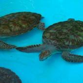 żółwie..