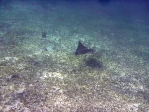 .. i pod wodą... - płaszczki